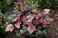 Garden Canadensis » Heuchera 'N…'-'P…'