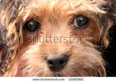 stock photo : Terrier Poodle Mix Dog
