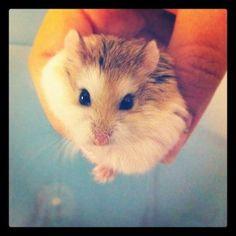 looks just like my sweet dwarf hamster Spidey.
