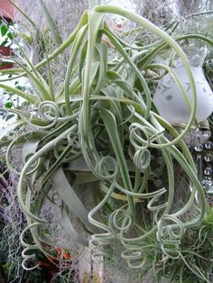 Photo of the entire plant of Medusa's Head (Tillandsia caput-medusae) posted by nap (All Things Plants)