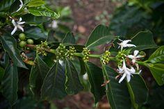 Colombia coffee buds | #káva