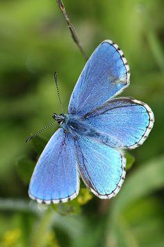 Polyommatus bellargus - Adonis bleu - Azuré bleu céleste - Argus bleu