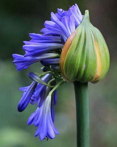 Agapanthus Bud - by Karen Zack