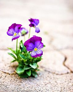 Pansies...love these coming up everywhere in the spring! :)