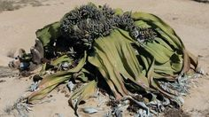 The 1500 year old Welwitschia. Sometimes referred to as a living fossil. A boy's epic adventures in Namibia.  http://luhambo.wordpress.com/2013/09/09/the-epic-adventure-part-2/