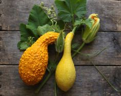 Squash Yellow Crookneck 1:12 Garden Farm Miniature Produce for Crate Vegetables