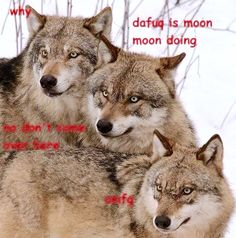 """ ""Da fug is Moon Moon doing? Husky, Moon Moon, Animals, Love, Animales, Animaux, Husky Dog, Animal, Animais"