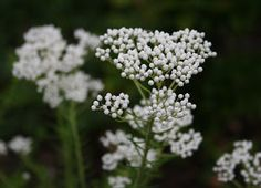 The Gardens of Petersonville: Rice Flower Plant