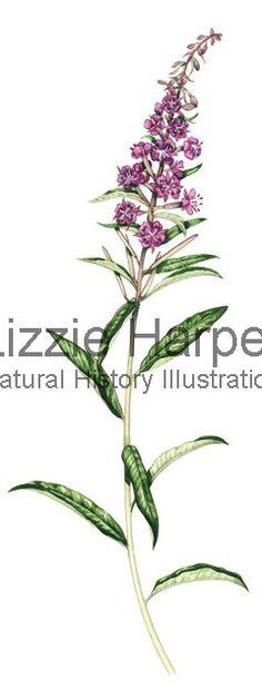 Flower print fireweed vintage wild flower print for Botanical tattoo london