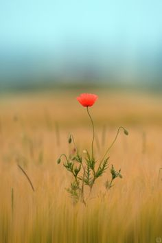 Coquelicot by Alex.Louis alphoto on 500px