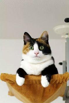 美人な三毛猫の画像 : 〓 ねこメモ 〓