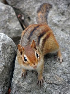 Pixel_Karma Chipmunk, via Flickr.