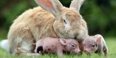 Sleeping rabbit with mini pig piglets (© Richard Austin/Rex Features)