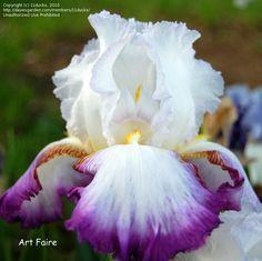 TB Iris germanica 'Art Faire' (Schreiner, 1993)