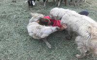 O GRITO DO BICHO: O cão dedicado se recusou a deixar as cabras no me...