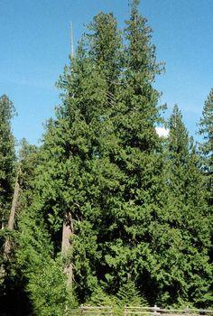 Thuja plicata - Western red cedar cypress family (Cupressaceae)