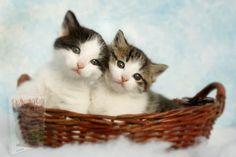 Cute Baby Cats, Baby Kittens, Kittens Cutest, Cats And Kittens, Funny Cat Videos, Funny Cats, Dog Videos, Silver Tabby Kitten, Dog Insurance