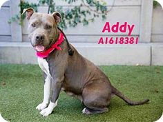 05/13/16  -  Los Angeles, CA - Pit Bull Terrier. Meet ADDY, a dog for adoption. http://www.adoptapet.com/pet/15294308-los-angeles-california-pit-bull-terrier