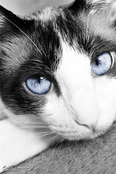 Beautiful blue eyes cat B/W Pretty Blue Eyes, Beautiful Blue Eyes, Beautiful Cats, Pretty Cats, Cute Cats, Funny Cats, Pretty Kitty, Crazy Cat Lady, Crazy Cats