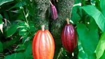Cacao has deep roots in the history of the Caribbean coast of Costa Rica.  Now for the first time, gourmet beans used for making bar chocolate is being made in Puerto Viejo, Limon. After learning about the chocolate making process, you will visit Cahuita National Park.