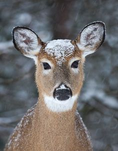 Cute little doe with winter hat  Photo by James Cumming -- National Geographic