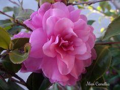 miniature camellia