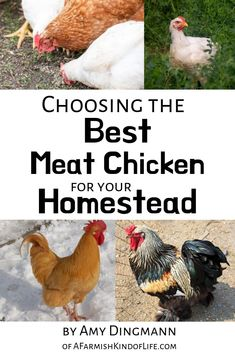 Raising your own meat is a big step towards self-sufficiency. Chickens are a great place to start but its hard to know which breed is the best choice for your homestead. Let me help you figure out the right bird for you! Portable Chicken Coop, Best Chicken Coop, Building A Chicken Coop, Chicken Coops, Best Egg Laying Chickens, Raising Chickens, Meat Chickens Breeds, Chicken Incubator, Best Meat