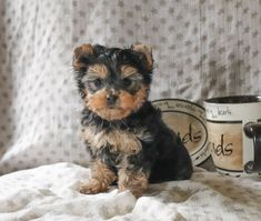 Looking for Yorkshire Terrier puppies? Lancaster Puppies has them for sale now. See our small dogs breeds, and get your Yorkshire Terrier now! Yorkie Puppy For Sale, Cute Dogs And Puppies, Puppies For Sale, Puppy Love, Animals Dog, Cute Animals, Yorshire Terrier, Lancaster Puppies, Yorkshire Terrier Puppies