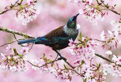 Tui | Tony Smith Photography Birds, Bedroom, Gallery, Photography, Animals, Photograph, Animales, Roof Rack, Animaux
