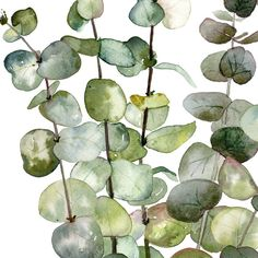 Eucalyptus printable Eucalyptus poster Eucalyptus wall art You are in the right place abo Watercolor Plants, Watercolor Leaves, Watercolor Art, Wreath Watercolor, Botanical Art, Botanical Illustration, Eucalyptus Leaves, Eucalyptus Wreath, Watercolor Paintings