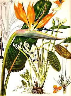 Botanical birds of paradise drawings | Vintage Botanical Print 1970 BIRD of PARADISE Color Art Wild Flowers ...
