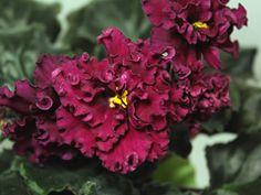 African Violet LE Fire Flower. Breeder; Lebetskaya
