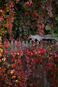 fall color & a squirrel running along the top of the fence....putting away those acorns for the winter.