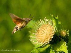 Dlouhozobka svízelová - Macroglossum stellatarum Bugs, Garden, Animals, Insects, Garten, Animales, Animaux, Beetle, Gardens