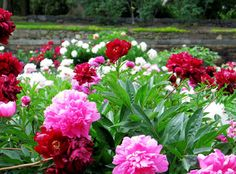 The Peony Garden. Photo by Jeannette Lindvig, Courtesy Winterthur
