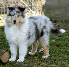 Blue Merle Rough Collie Pup