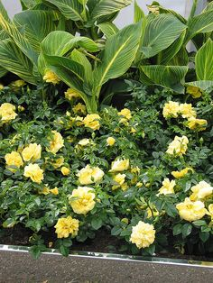 Flower Carpet Rose - Yellow with Tropicanna Gold canna behind