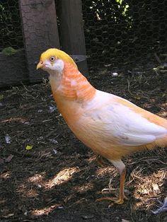 peach cover pheasant