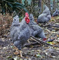 Gorgeous Dominique Chickens