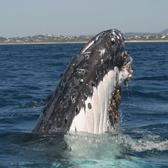 Humpback whale population increasing 'like crazy', say scientists