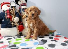 Buy Cheap Goldendoodle Puppies for Sale near me Goldendoodle Puppy For Sale, Labradoodle, Toy Puppies For Sale, Retriever Puppy, Buy Cheap, Cute Animals, Doodles, Golden Retrievers, Dogs