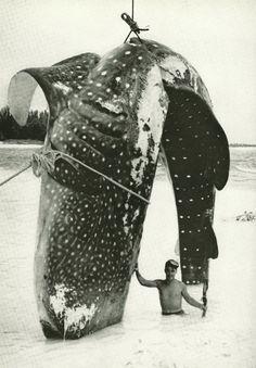 Whale shark in Bimini, Bahamas National Geographic | February 1958