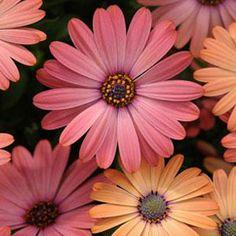 OSTEOSPERMUM SERENITY ROSE MAGENTA - Garden Express