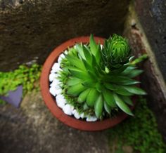 Soon-to-flower sempervivum