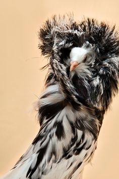 Jacobin Pigeon, known for spectacular feathered hood over its head - ©David Degner www.daviddegner.com- for me kthxbye