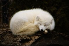 White Fox | Messenger of Inari | Appearance signals coming of spring