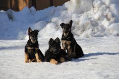 15 week old German Shepherd Pups