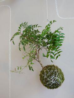 kokedama with pistacio tree