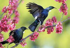Tui explosion in the city – Kiwi Bird Bloğ Sea Birds, Wild Birds, New Zealand Wildlife, Tui Bird, New Zealand Tattoo, Christchurch New Zealand, Kiwiana, Plant Drawing, Mundo Animal