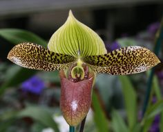 Lady Slipper Orchid.